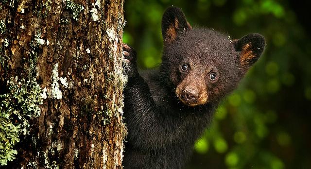 mladunče crnog medveda