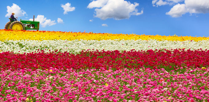 Flower Fields by Sameer Mundkur
