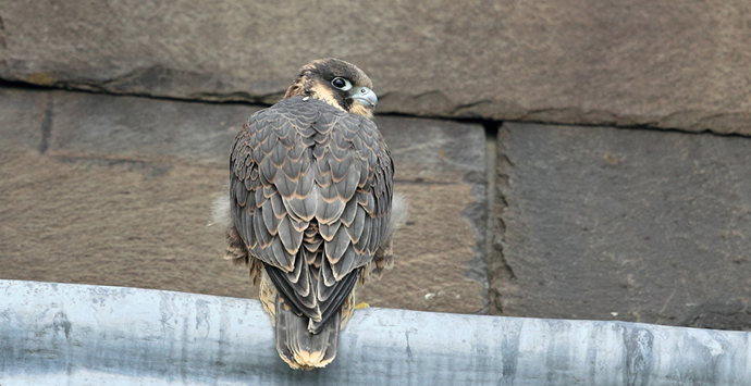 Young peregrine falcon, Martin Jump, wildlife photographer