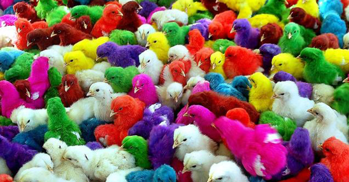 Colourful chicks being sold at Millerpuram in Tuticorin, Foto: N. Rajesh
