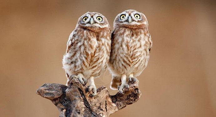 Ilia Shalamaev, Twin owls