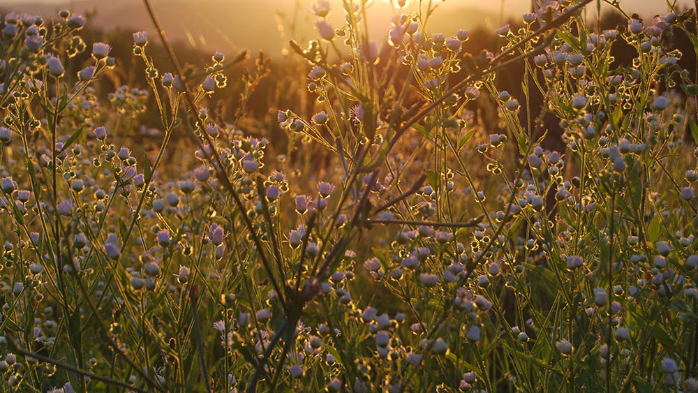 cveće u polju