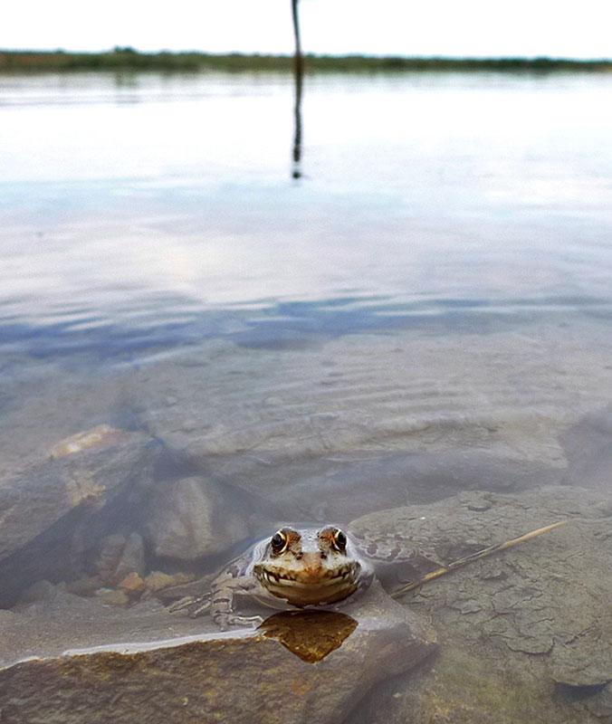 Đinđićeva žaba, foto: Predrag Trokicić