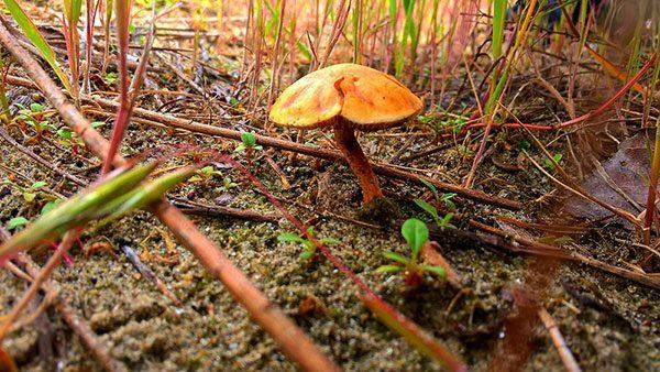 pečurka u šumi