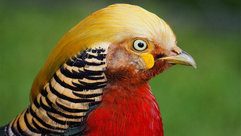 Zlatni fazan, foto: Thomas J. Walsh