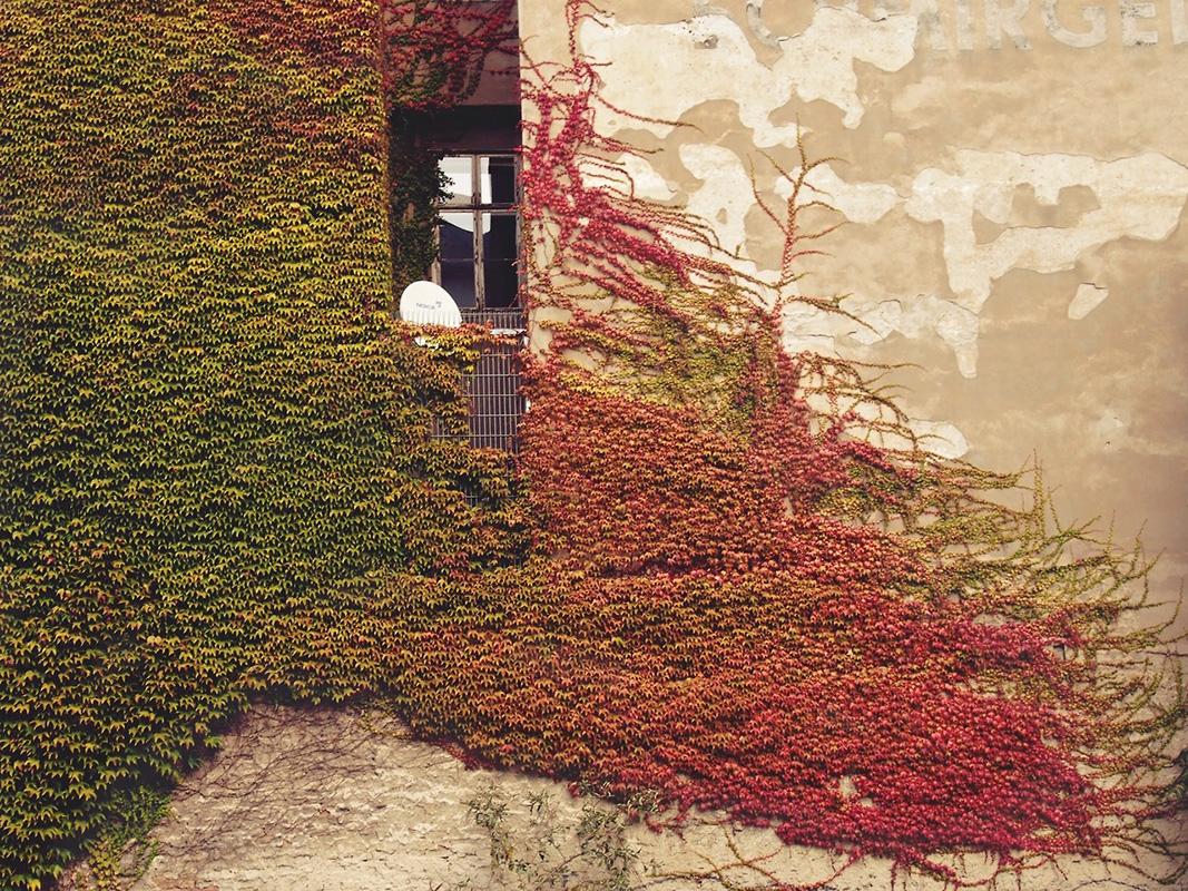 zid zgrade obrastao biljkama čije se boje prelivaju iz zelene u crvenu