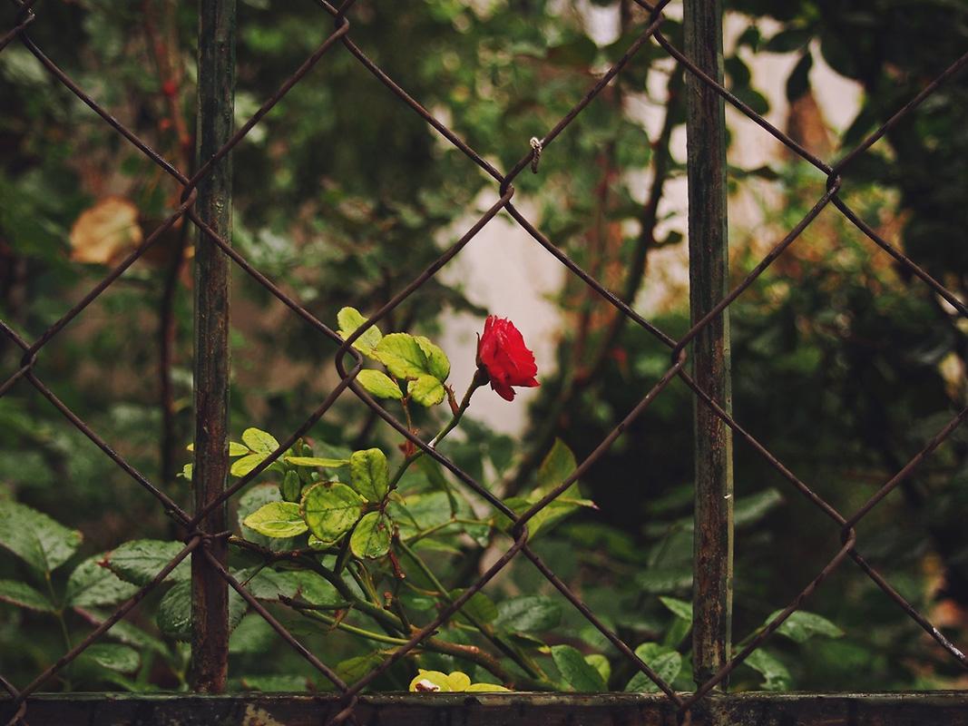 ruža u dvorištu