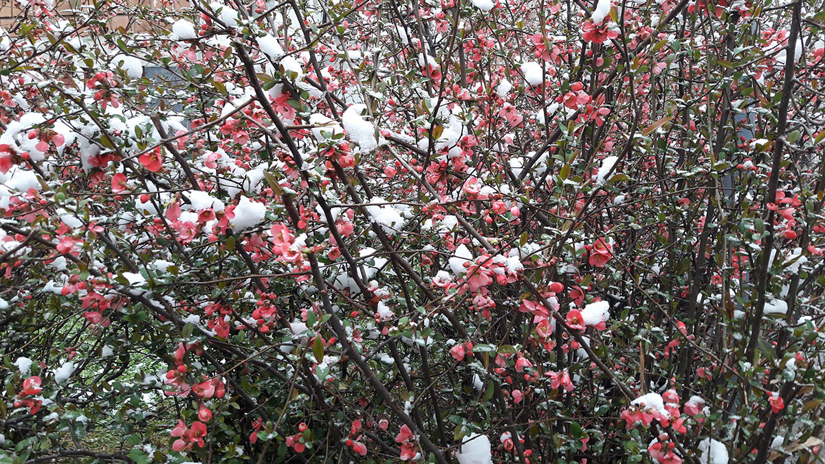 sneg na cveću