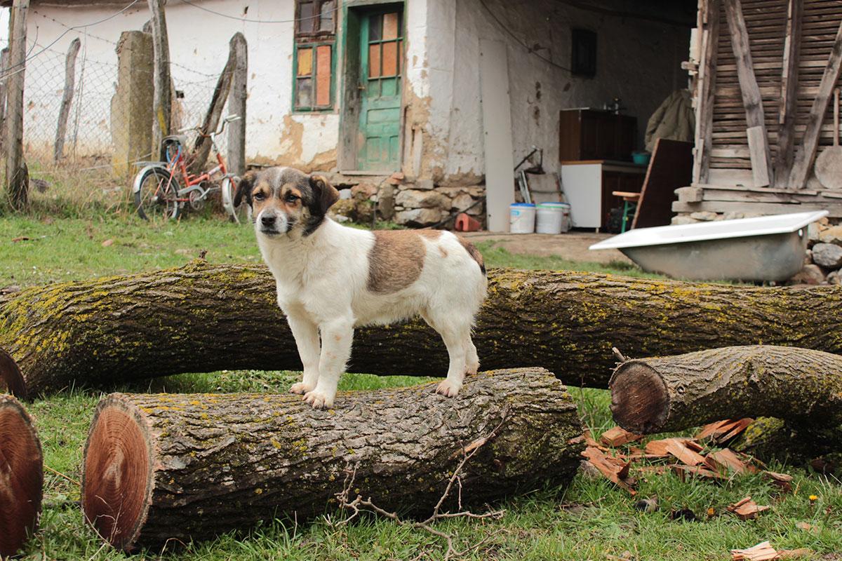 mali pas stoji na balvanu