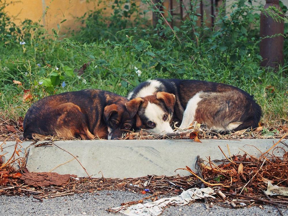 Dva psa, Predrag Trokicić