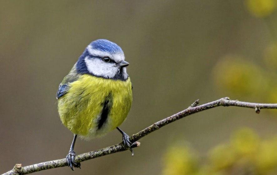 ptica plava senica na grani