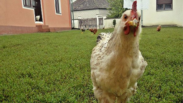 kokoške u dvorištu