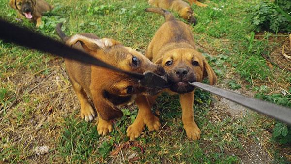 dva mala psa