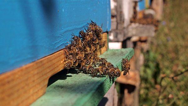 pčele na ulazu u košnicu