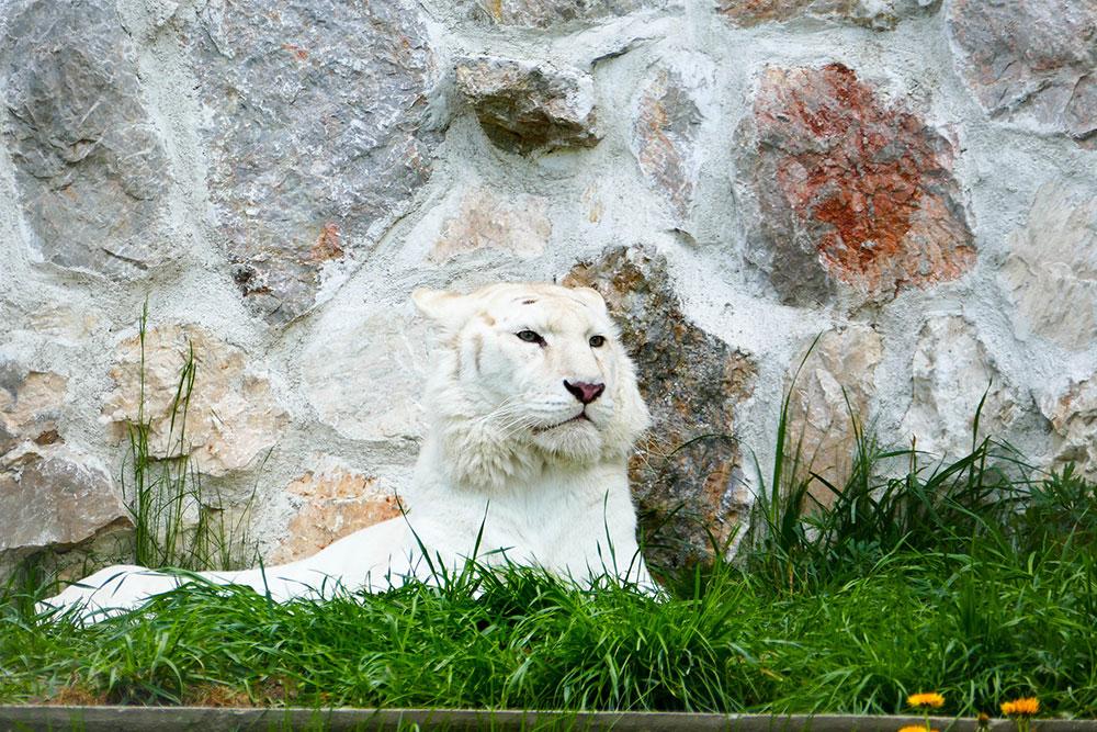 Beli lav, Beogradski zoo vrt