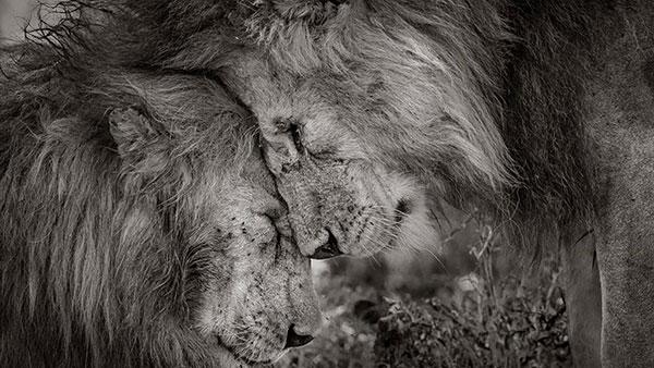 dva lava