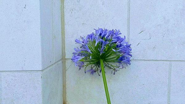 plavi cvet