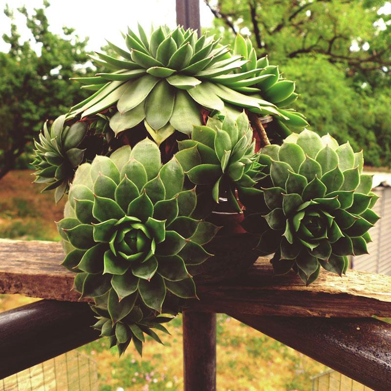 biljka čuvarkuća