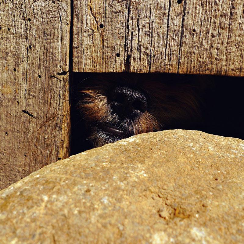 njuška psa viri iza zida