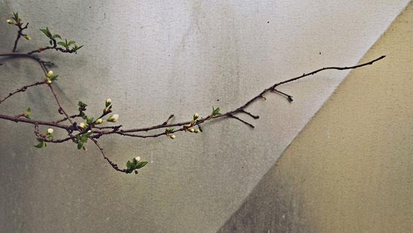 grana behara