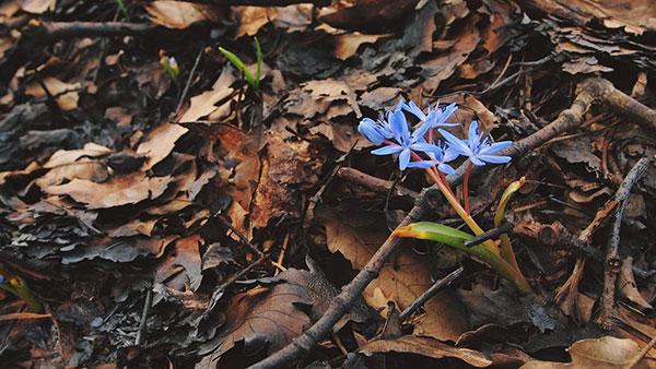 Cvet se promalja ispod suvog lišća kao vesnik proleća
