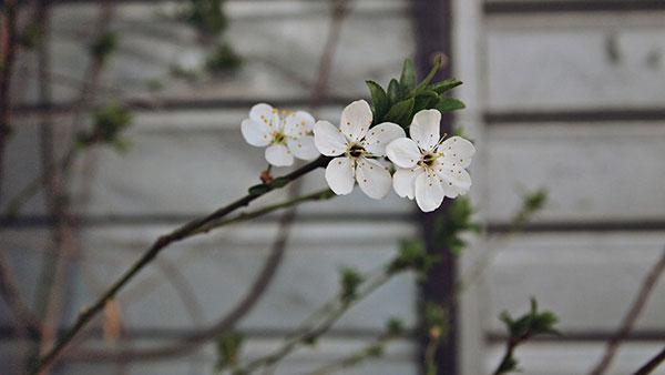 grančica drveta sa cvetom behara