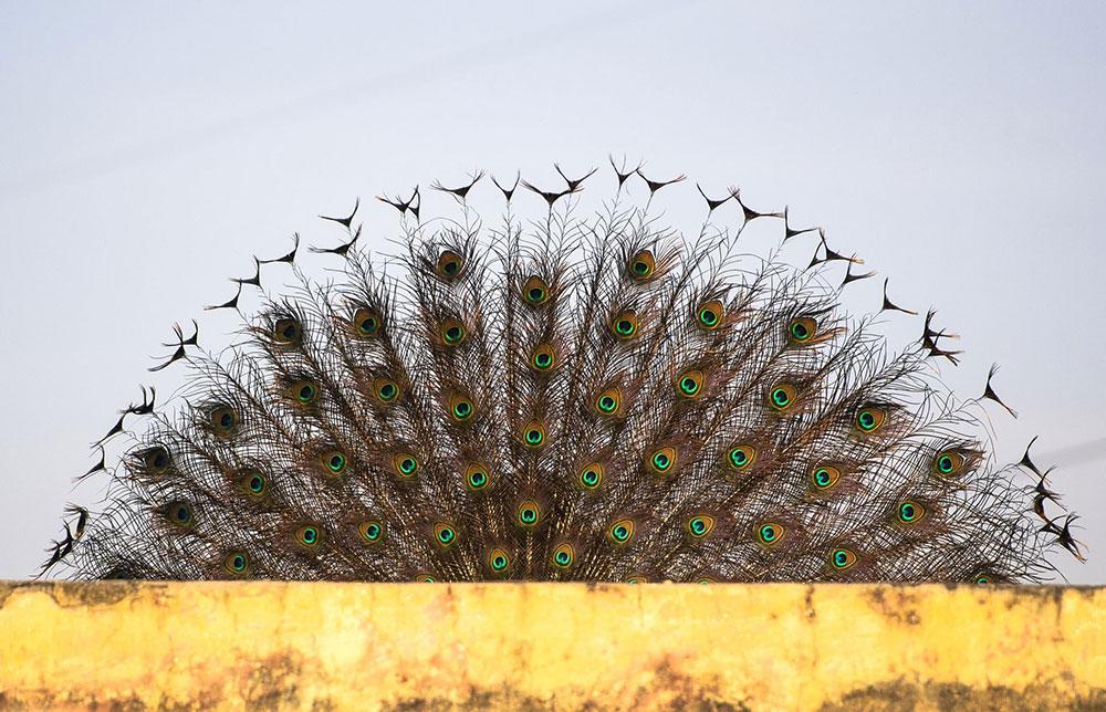 Paunov rep