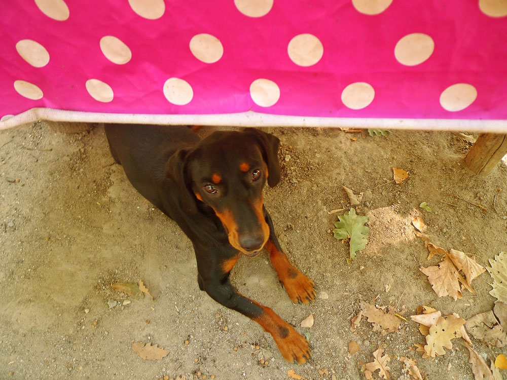 pas viri ispod stola sa pink mušemom