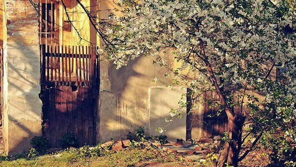 procvetalo drvo u dvorištu