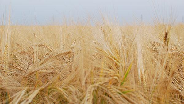 žitno polje