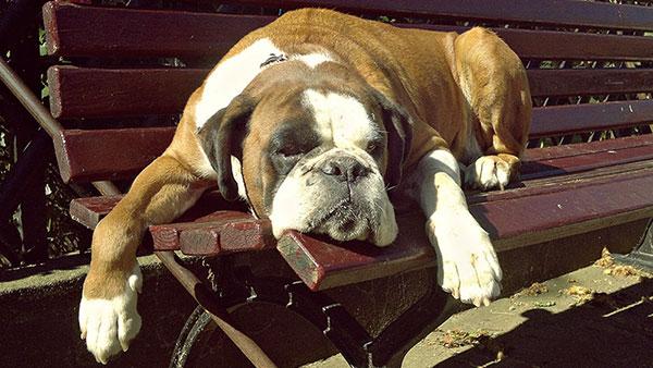 engleski buldog leži na klupi