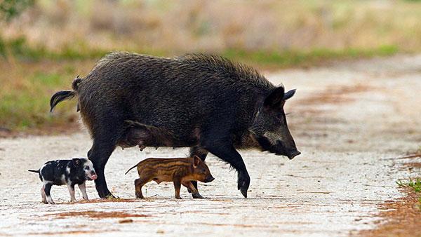 divlja svinja sa mladuncima