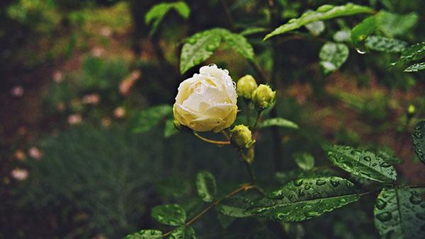 bela ruža
