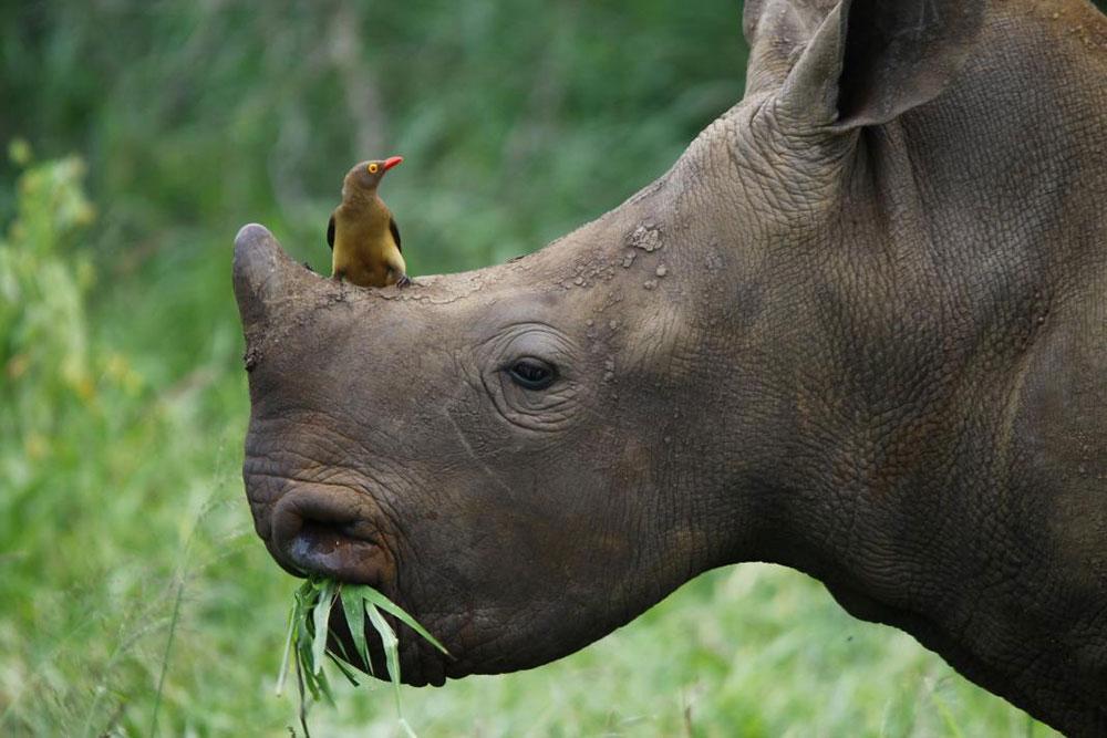 Nosorog na čijiem nosu sedi ptica - crvenokljuni govedar