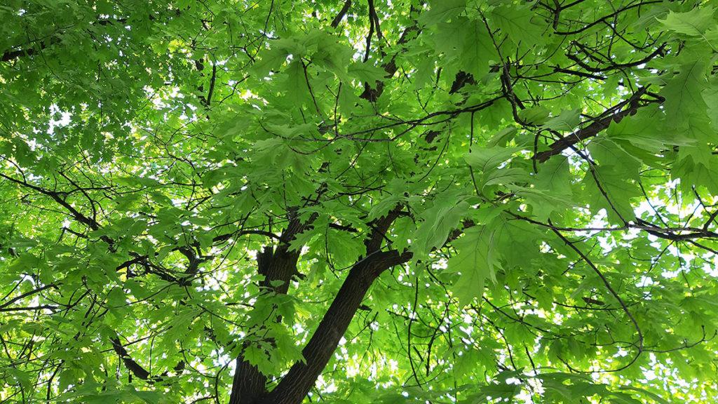 Zelena krošnja drveta