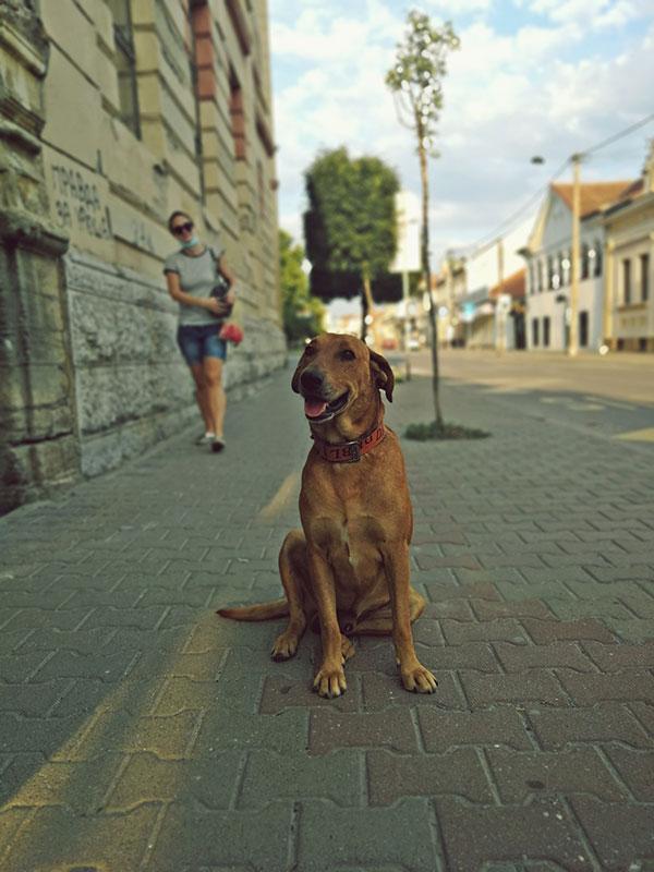 Pas u šetnji