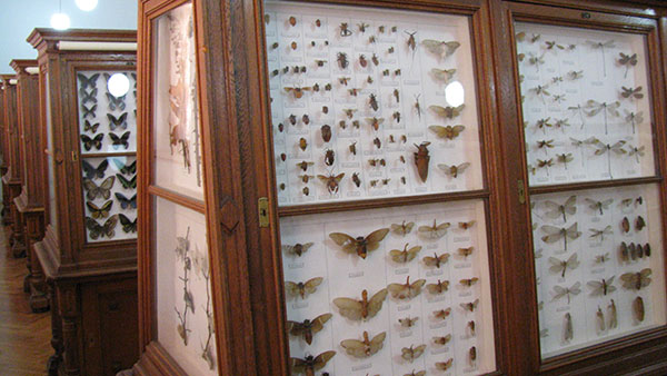 Kolekcija leptira u Zemaljskom muzeju