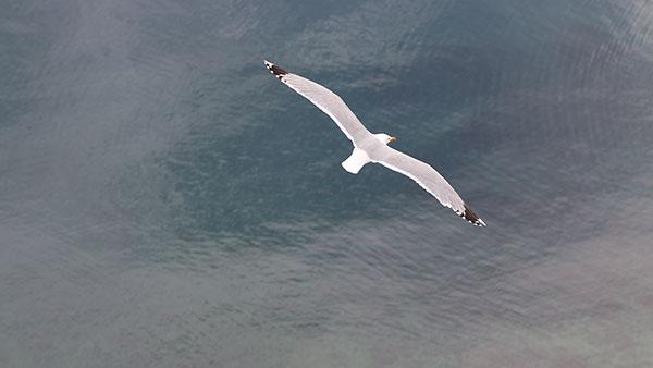 Galeb u letu nad morem
