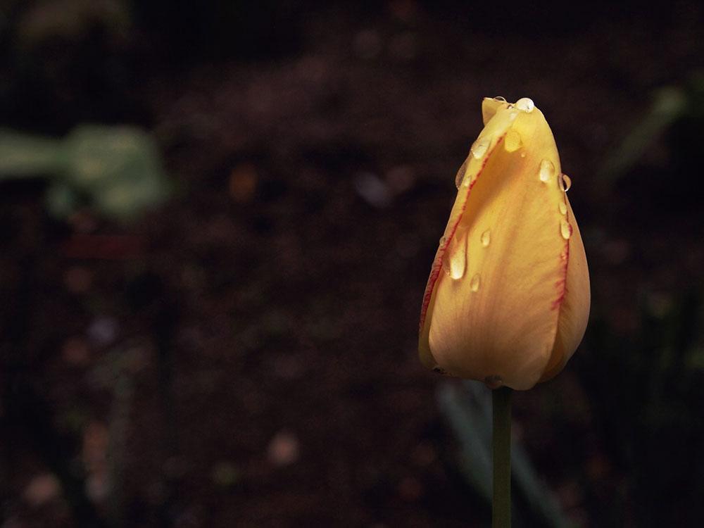 šuta ruža u pupoljku