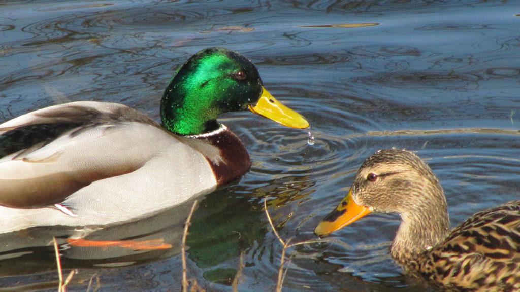 dve patke u vodi