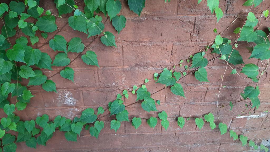 zid obrastao bršljenom