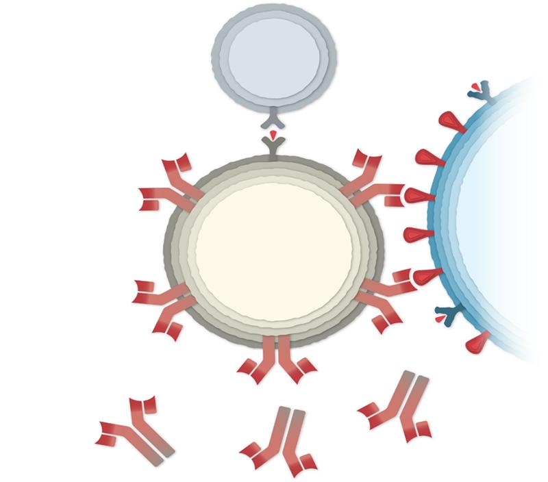 """Slika 4. B-limfocit, s antitijelima na svojoj membrani koji se uklapaju u proteine """"šiljaka"""" na površini zaražene stanice, veže se za zaraženu stanicu i počinje izlučivati odgovarajuća antitijela. Na ovoj skici, s gornje strane B-limfocita zakačila se jedna vrsta T-limfocita koja potiče aktivnost B-leukocita."""