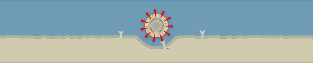 Slika 2. Hvataljke iz membrane virusa hvataju se za molekule proteina iz membrane stanica u dišnim putevima.