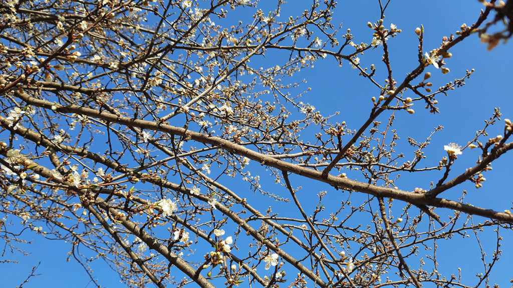 drveće u cvatu