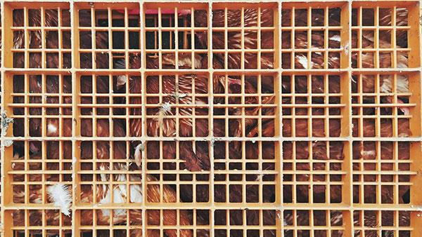 kokoške u kavezu