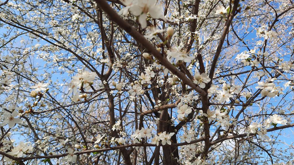 drvo u cvatu