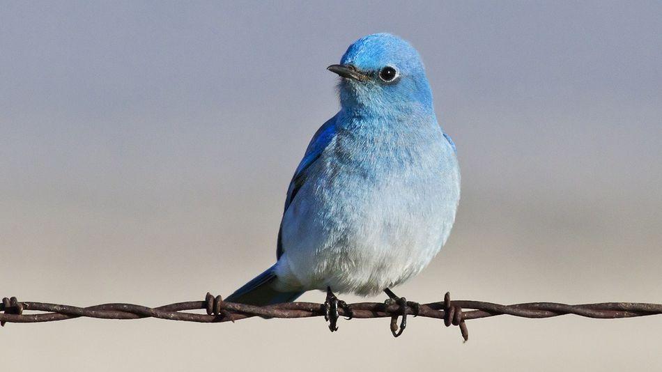 plava ptičica stoji na bodljikavoj žici