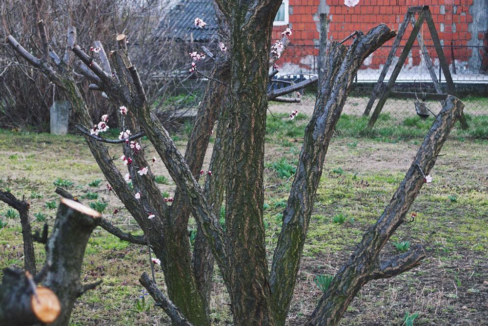 mlado drvo u cvetu