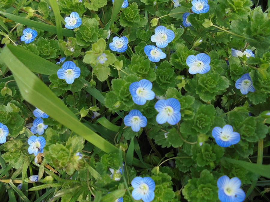 poljsko cveće
