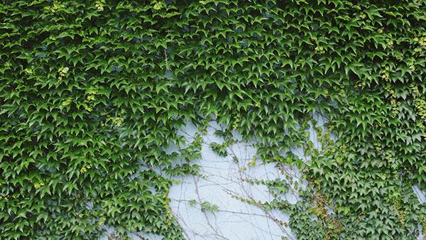 Zid prekriven bršljanom